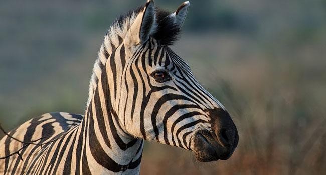 a_0000_zebra